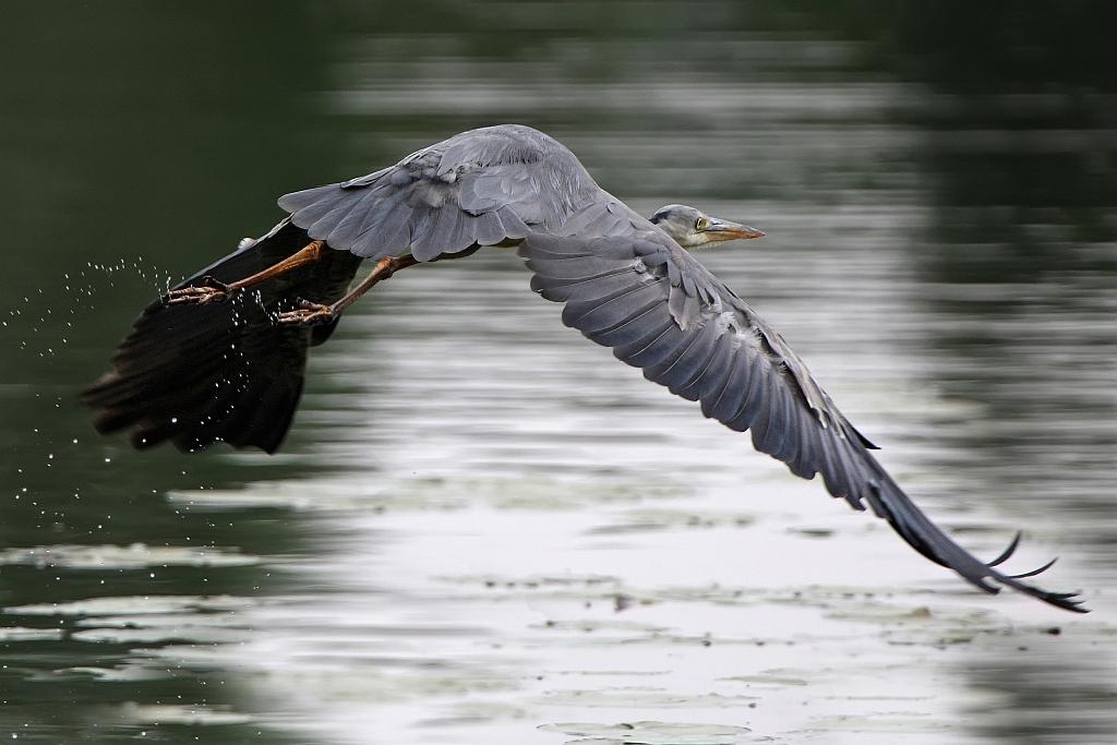 Reiher beim take off