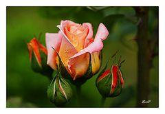 Reina de las Rosas /  Königin der Rosen