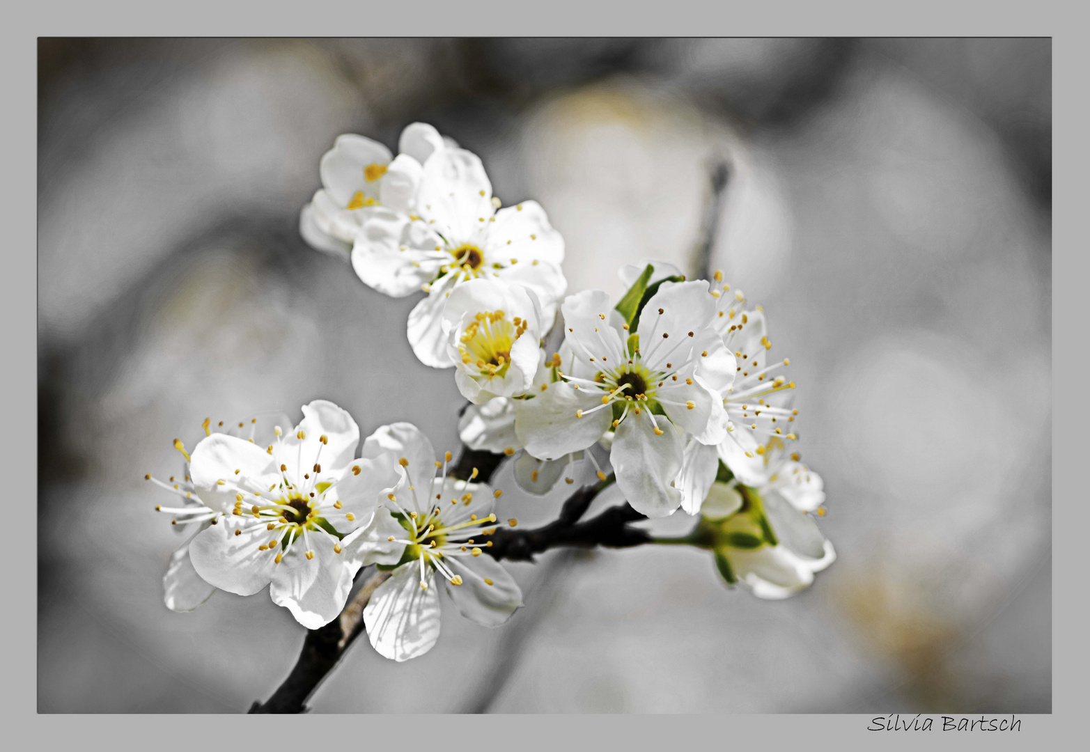 Reineclaude im Frühjahr