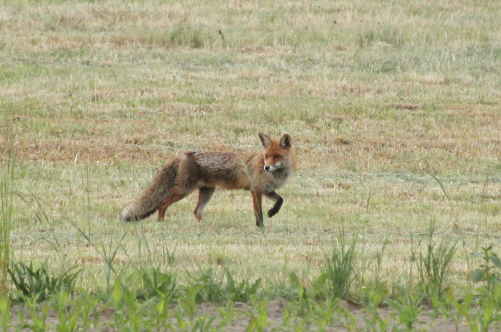 Reineke der Fuchs