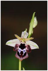 Reinholds Ragwurz (Ophrys reinholdii) (2)