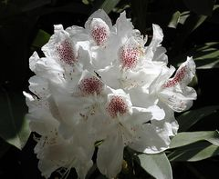 reinweiße Rhododendronblüte mit dunkelrot