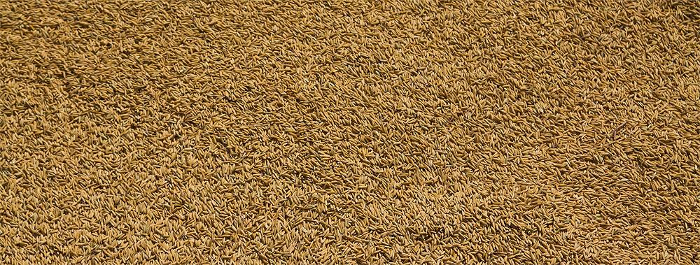 Reis - Grundlage des Lebens