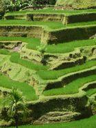 Reis in Stufen