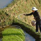 Reisanbau ist Handarbeit