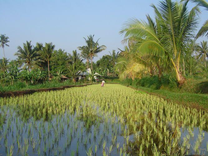 Reisfeld im Morgengrauen