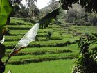 Reisfeld in Sri Lanka