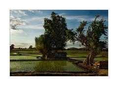 Reisfeld mit Bäumen