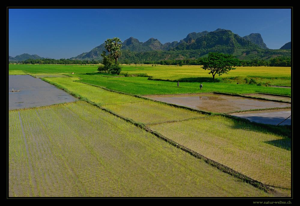 - - - Reisfelder - - -