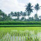 Reisfelder auf Lombok