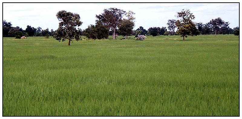 Reisfelder - Muang Tam, Isaan