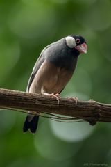 Reisfink (Padda oryzivora)