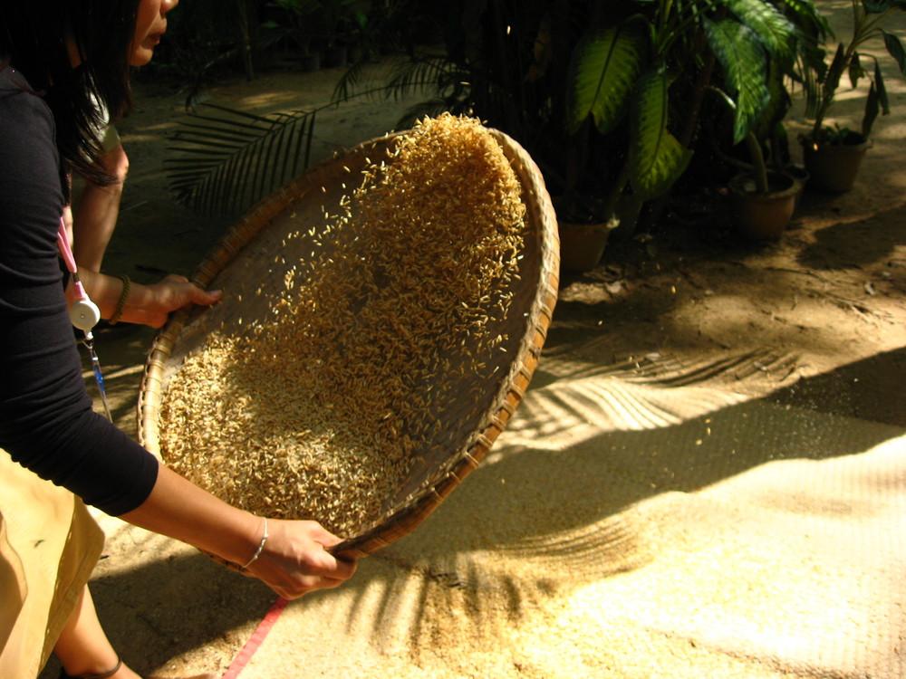 Reisherstellung in Thailand