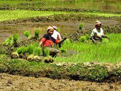 ... Reispflanzen ...