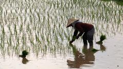 Reispflanzung