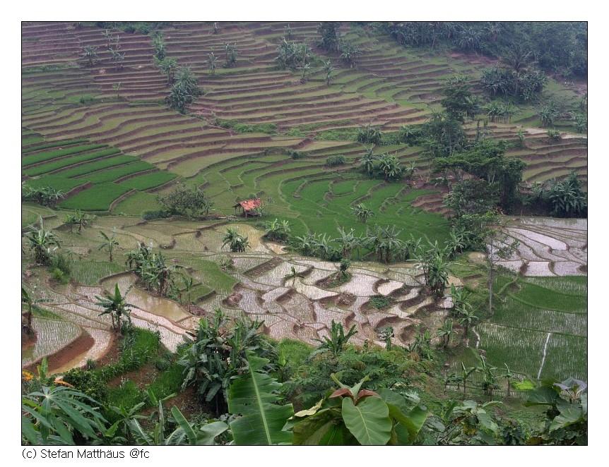Reisterasse in West-Java