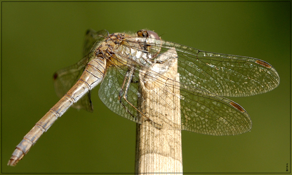 Relax Dragonfly