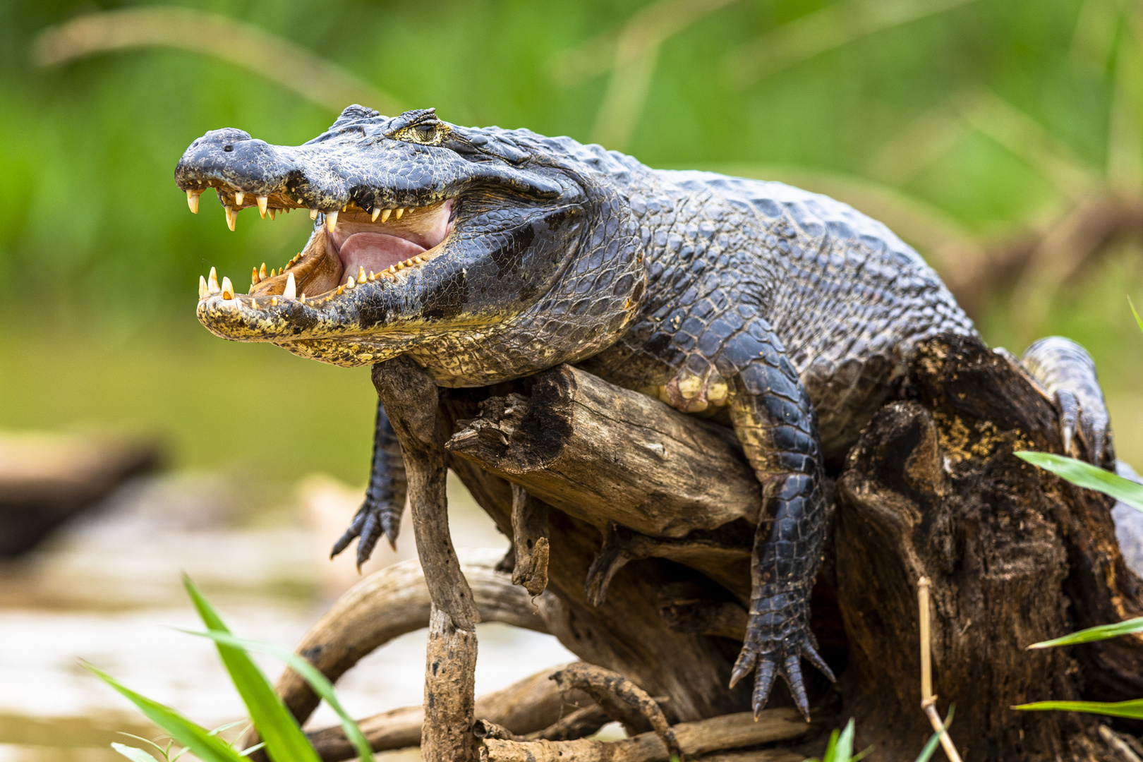 Relaxed Caiman