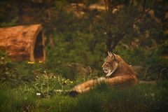 relaxed Lynx