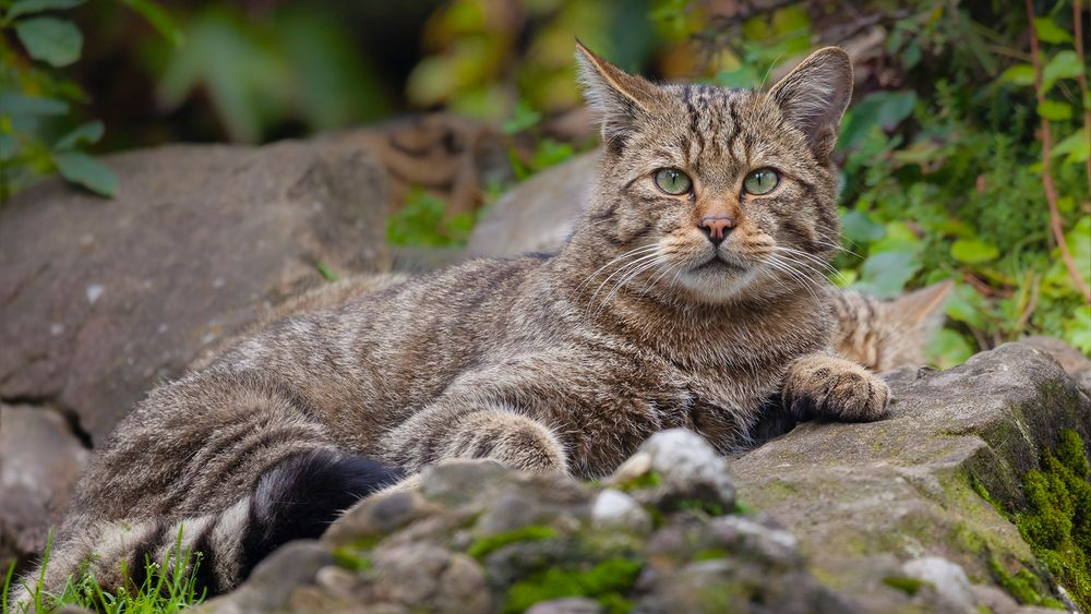 RELAXED WILDCAT AT LOOKOUT