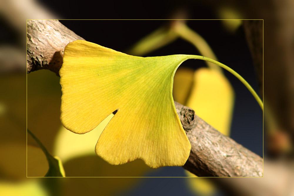 relaxendes Ginkgoblatt in den Sonnenstrahlen des Novembers