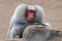 Relaxter Primate
