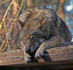 Relaxter Wolf