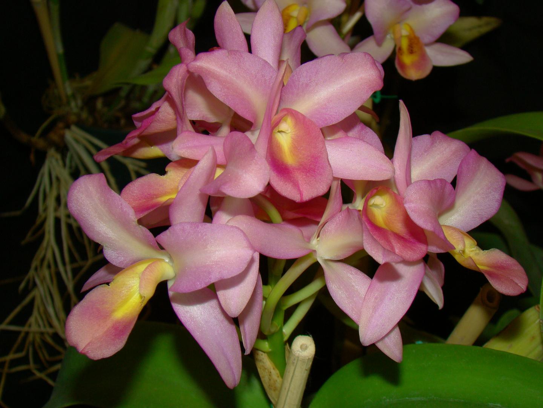 Remolino de Orquídeas