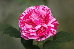 Remontantrose - Alte Rose - Ferdinand Pichard...