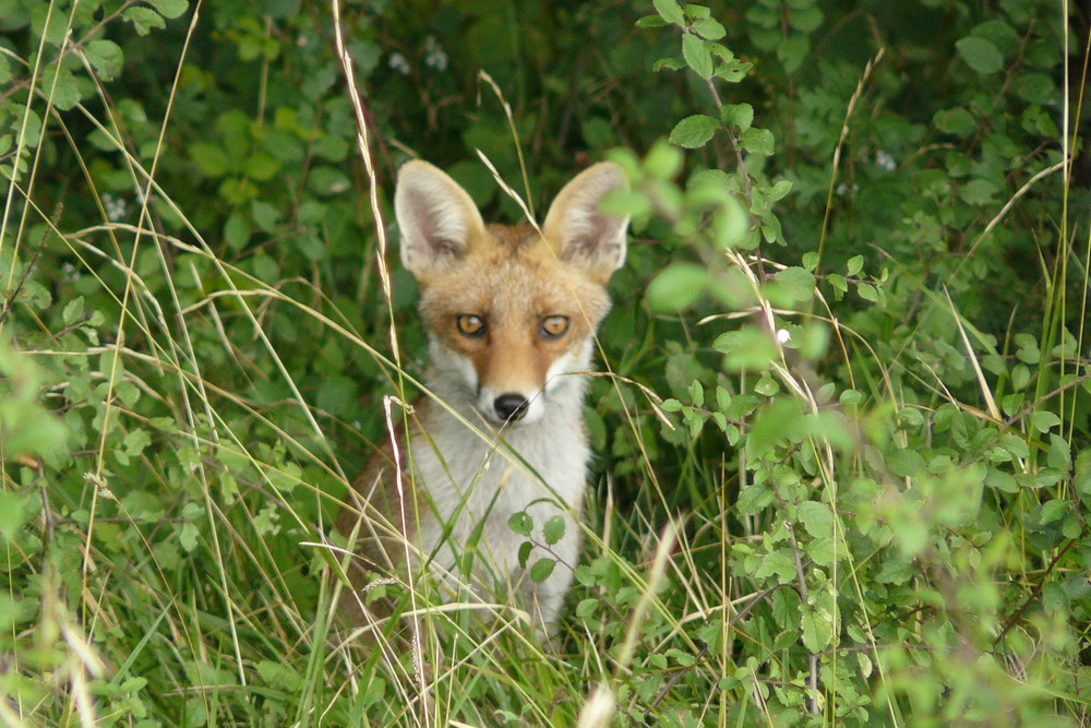 renard curieux