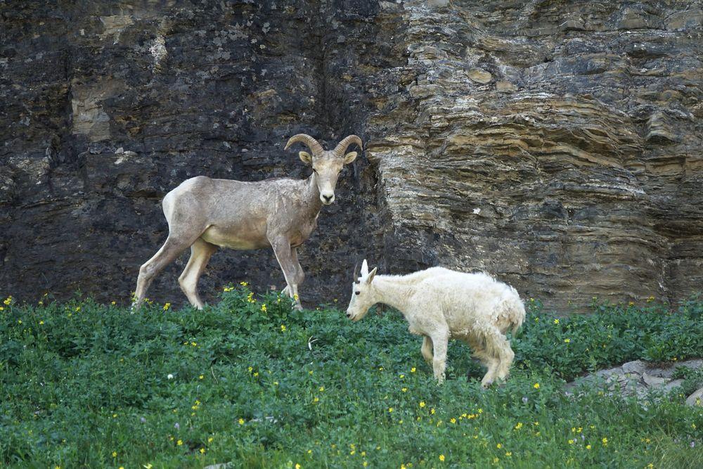 rencontre au sommet - Mountain Goats*Sheep