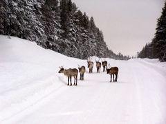 Rencontre en Laponie !!!!