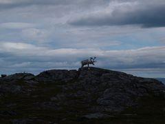 Rentier in Norwegen