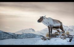 Rentier - Norwegen