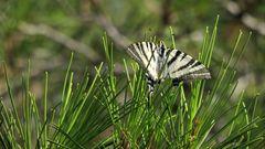 Repos sur les aiguilles d'un Pin à la Garoupe à Antibes
