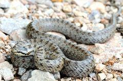 Reptil des Jahres 2013