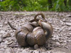 Reptil des Jahres 2013: Schlingnatter