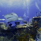 Requin gris des Caraïbes