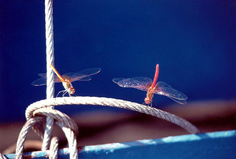 Resting Dragonflies