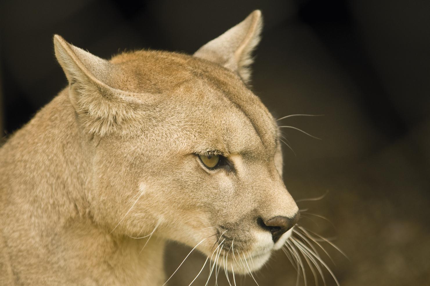retrato de puma chileno