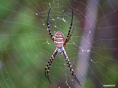 Reverso araña .