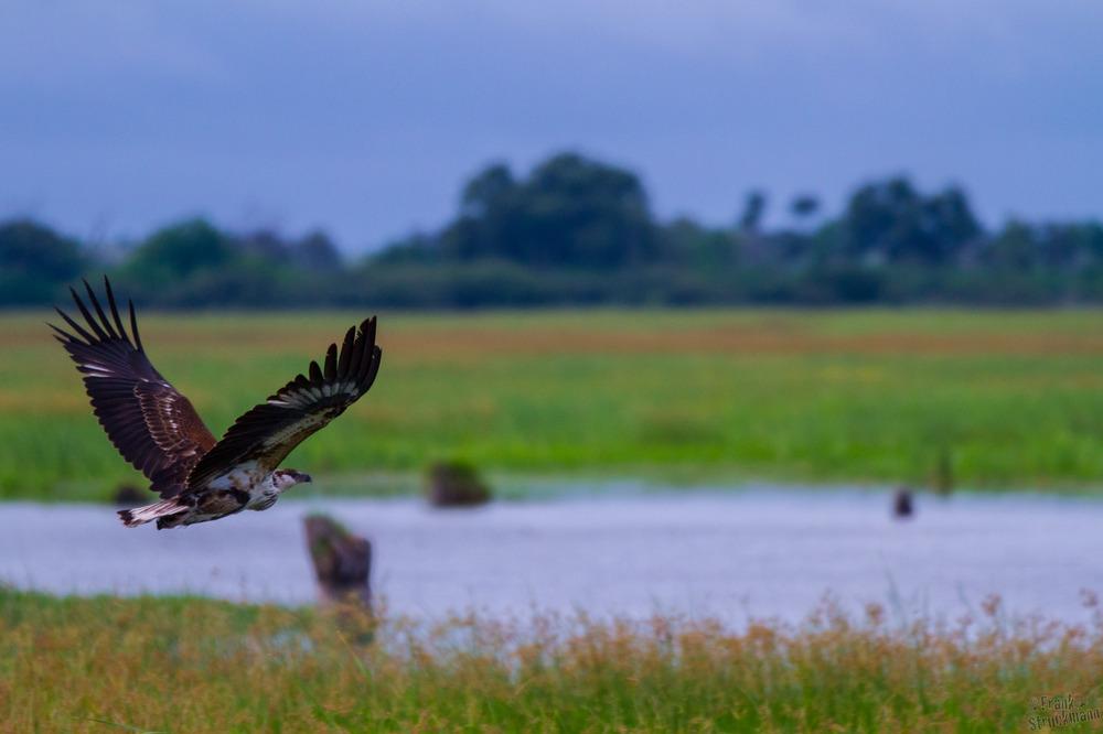 Revier Check (Fish Eagle)