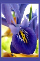 Rhapsody in violet