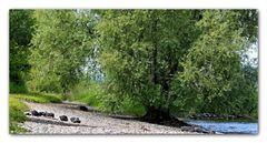 Rheinaue....