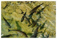 Rheinfallfische