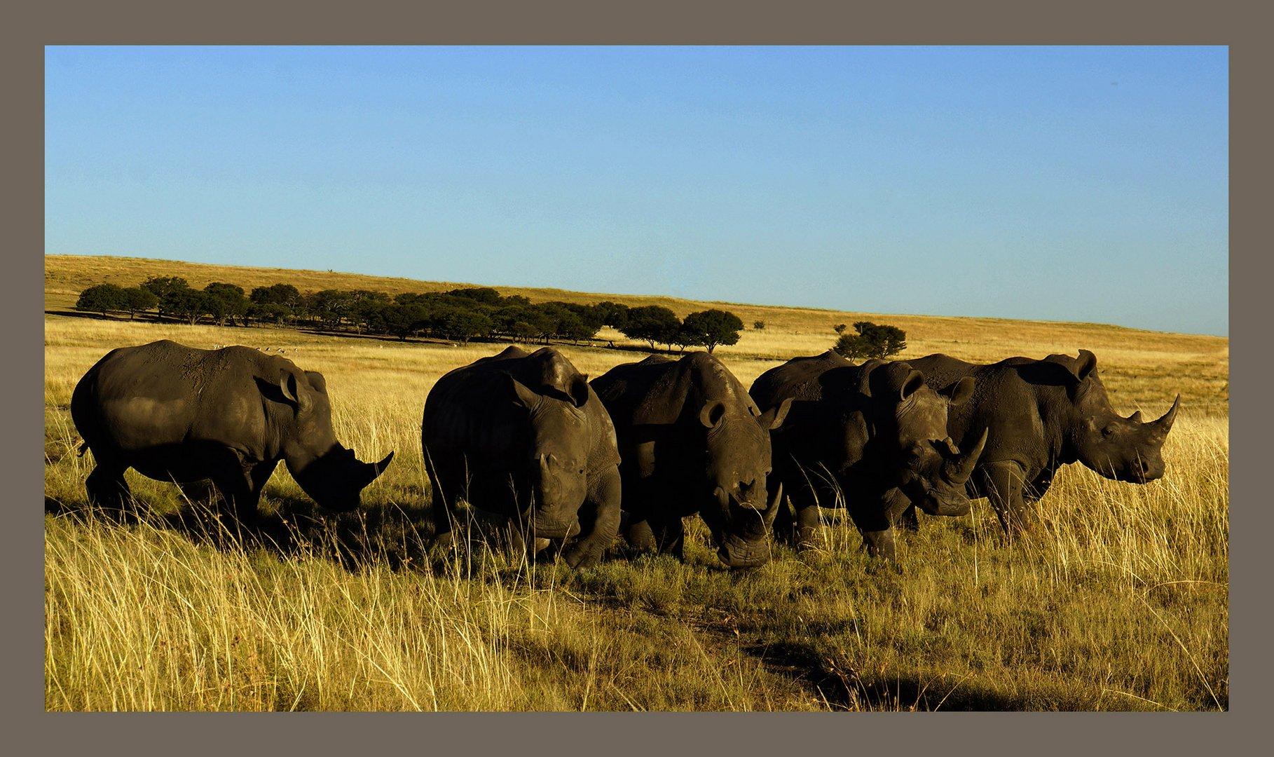 """Rhino """"Auflauf"""" in der untergehenden Sonne"""