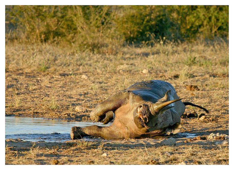Rhino.... jetzt kannst dich noch etwas wälzen