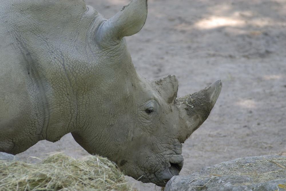 Rhino la corne