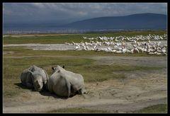 ... Rhinos at Lake Nakuru ...