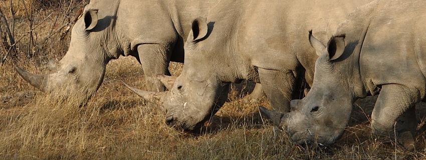 Rhinos auf der Jagd